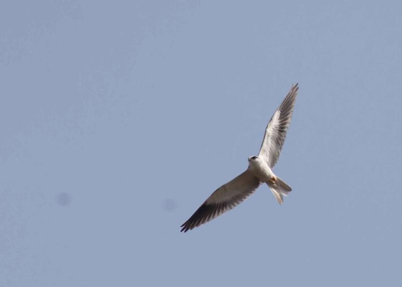 Black-Winged Kite I think