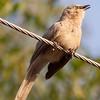 Maybe sparrow lark