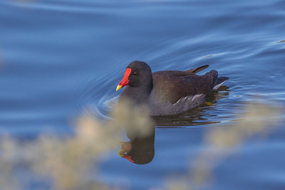 Nevada: Common Gallinule