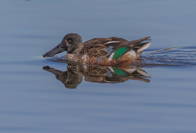 Nevada: Northern Shoveler