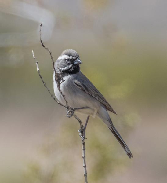 Nevada: Black-throated Sparrow