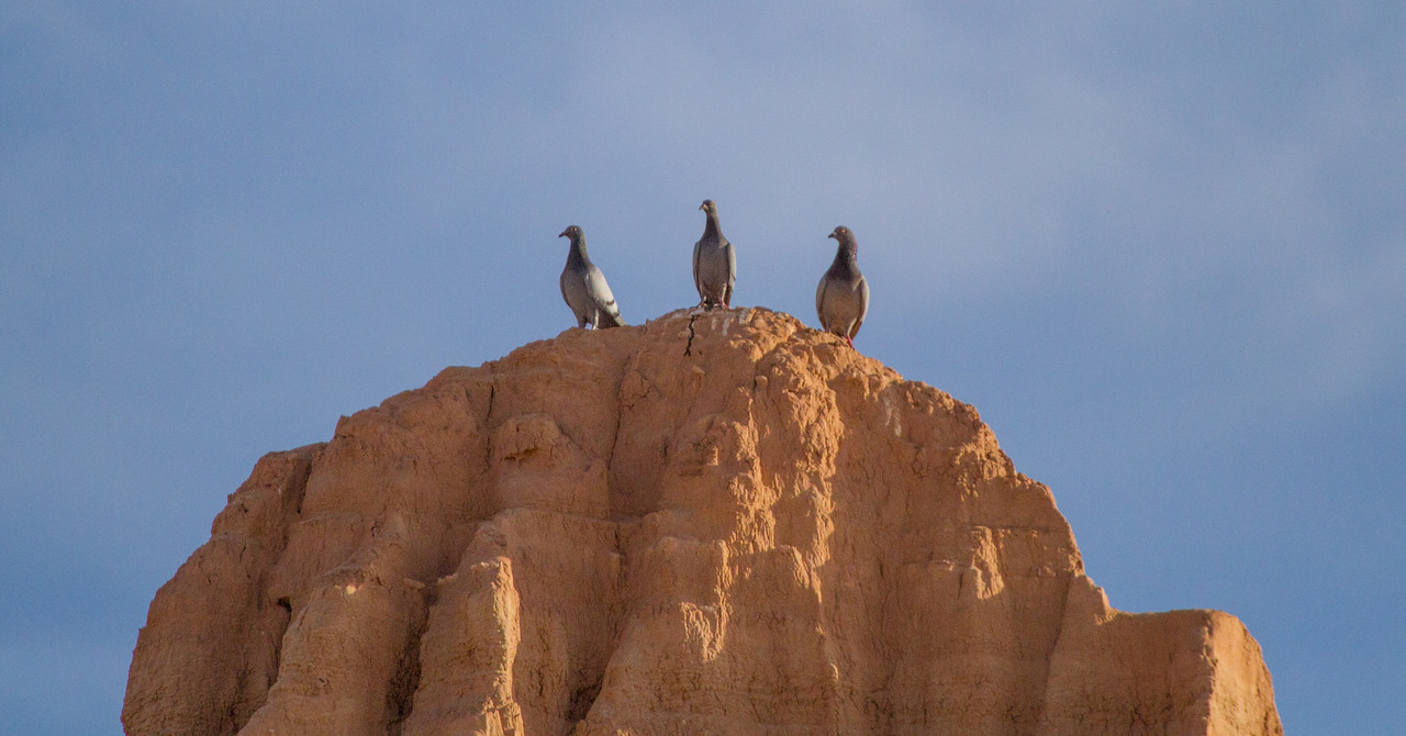 Cathedral Gorge Rock Pigeons