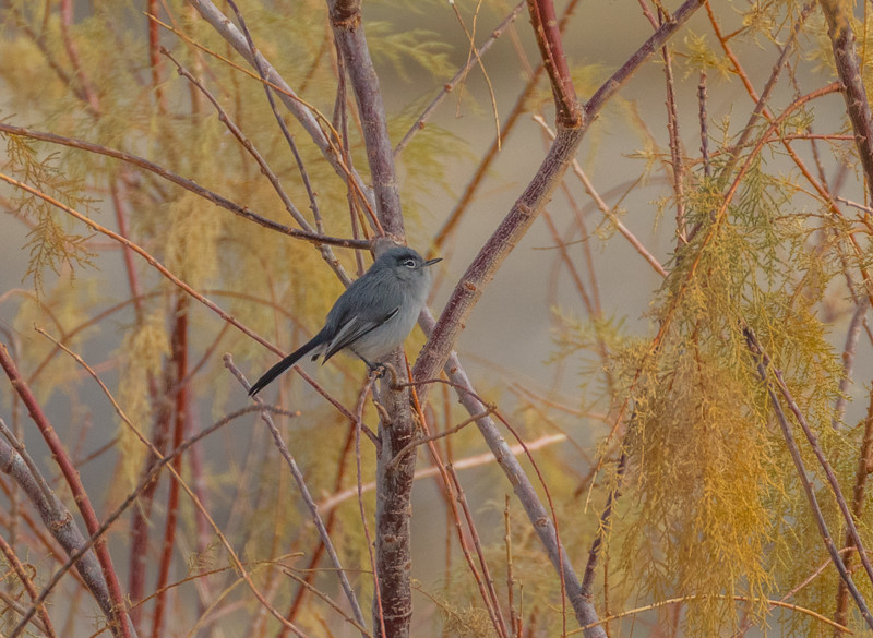 Nevada: Black-tailed Gnatcatcher