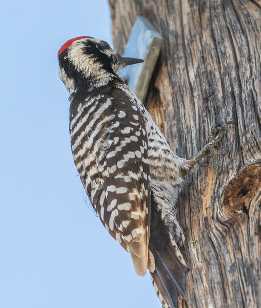 Nevada: Ladder-backed Woodpecker