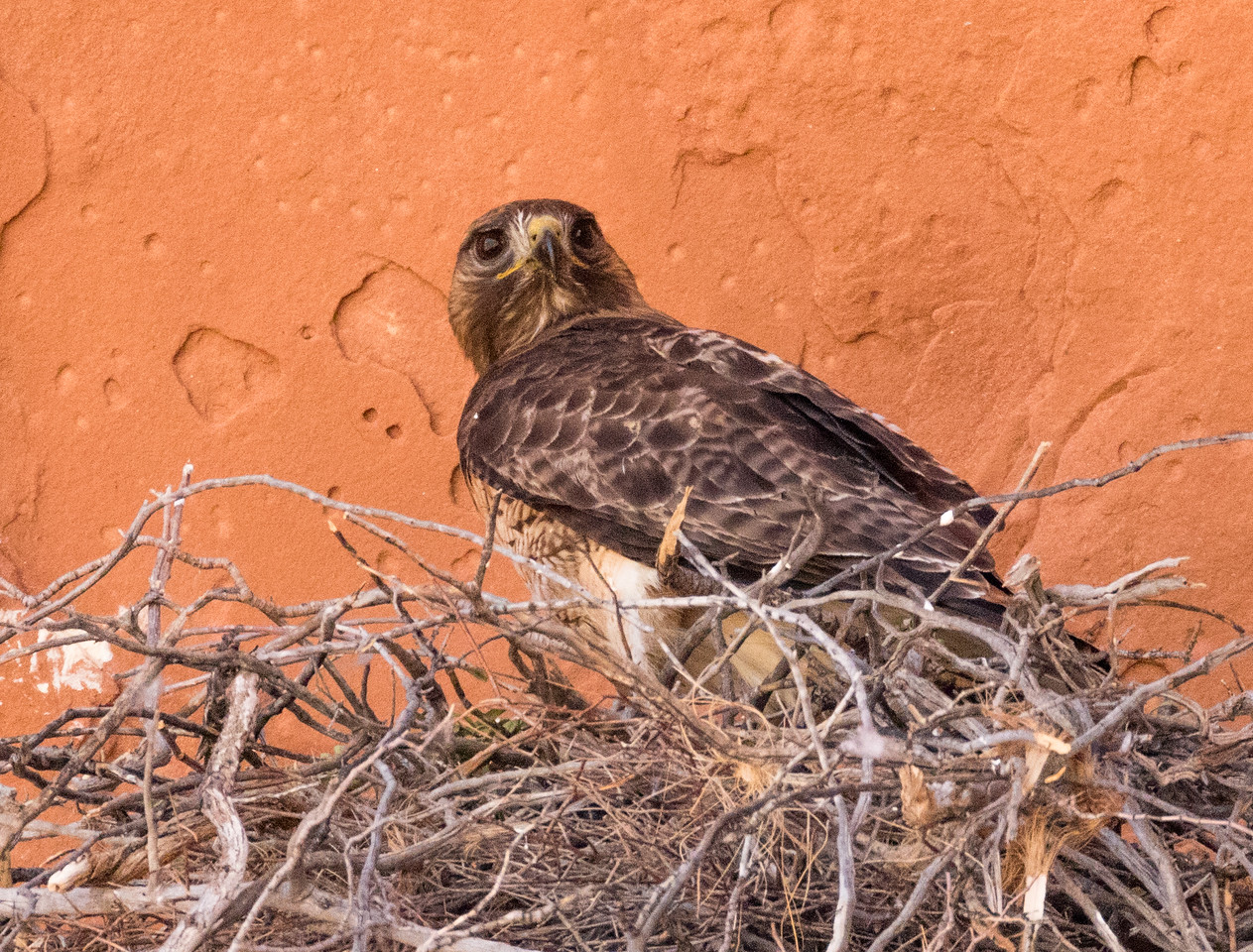 Nevada: Red-tailed Hawk