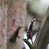 dzieciol duzy/ Great Spotted Woodpecker