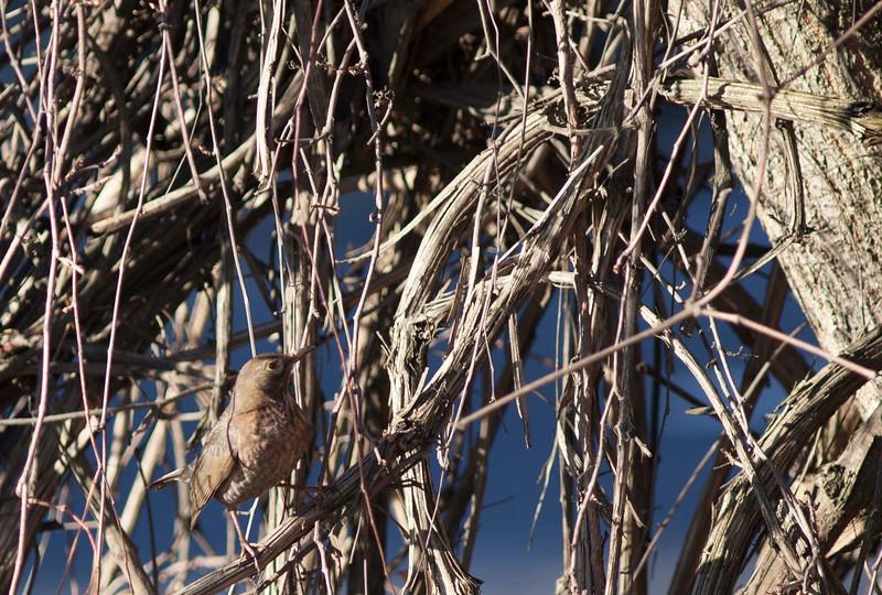Samiczka kosa z Nad Potokiem w Poznaniu (Common blackbird)