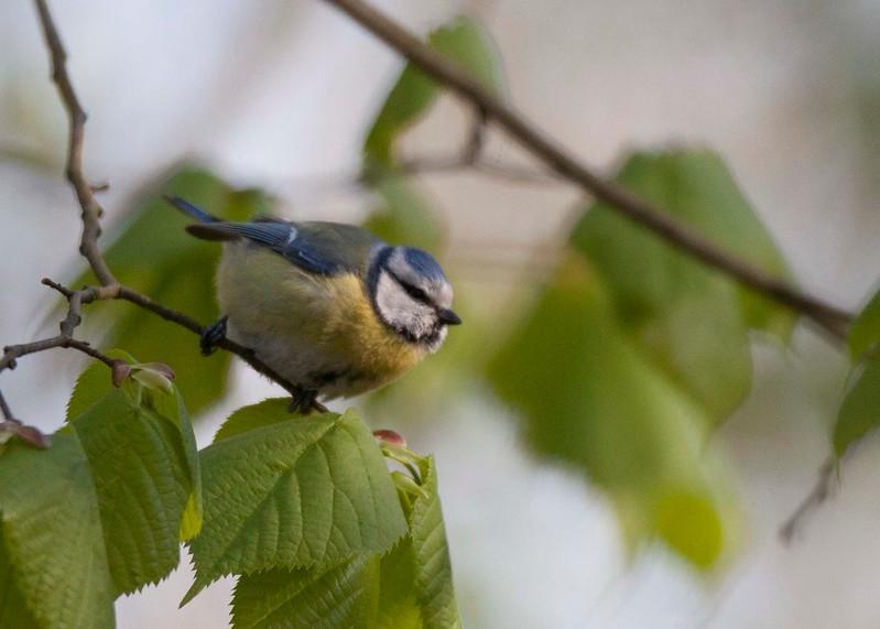samiec modraszki