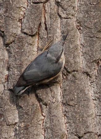 Pelzacz leśny /Tree creeper