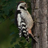 Dzieciol Sredni /Middle Spotted Woodpecker