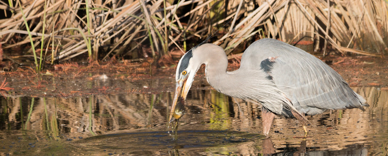 Heron surprises fish