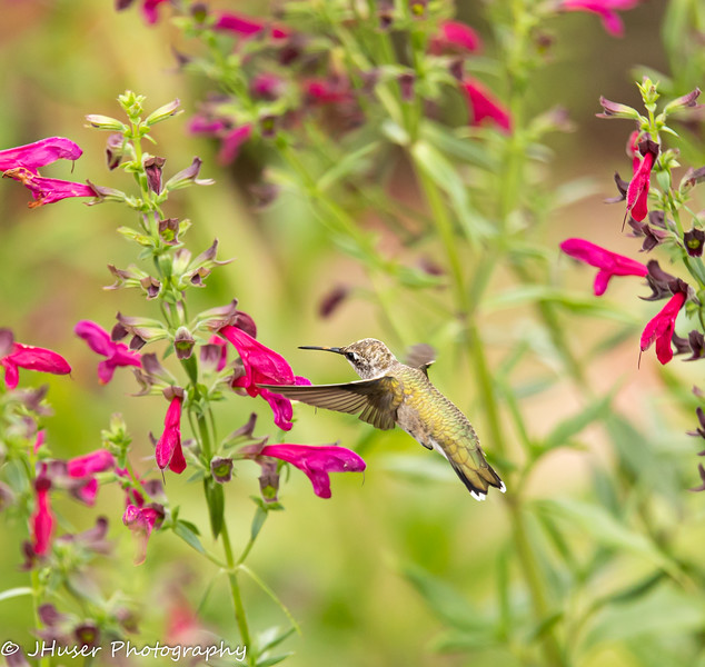 Hummingbird flying by flower
