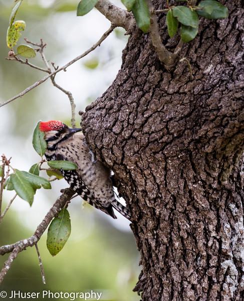 Ladder-backed Woodpecker on oak tree