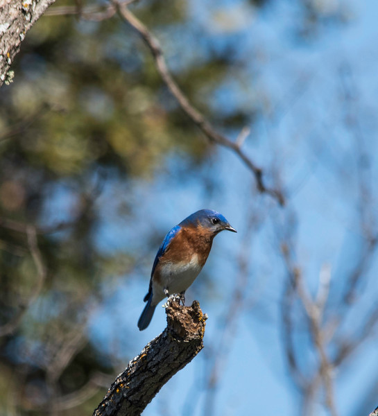 Isolated Eastern Bluebird perched on limb