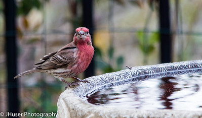House Finch on bird bath
