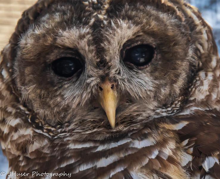Closeup of a Barred Owl
