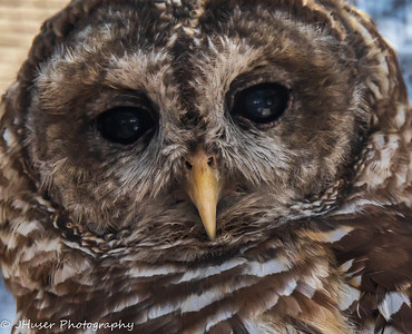 Closeup of a Barred Owl