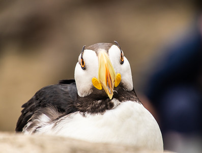 Closeup of one Horned Puffin seabird facing the camera