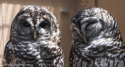 Pair of Barred Owls
