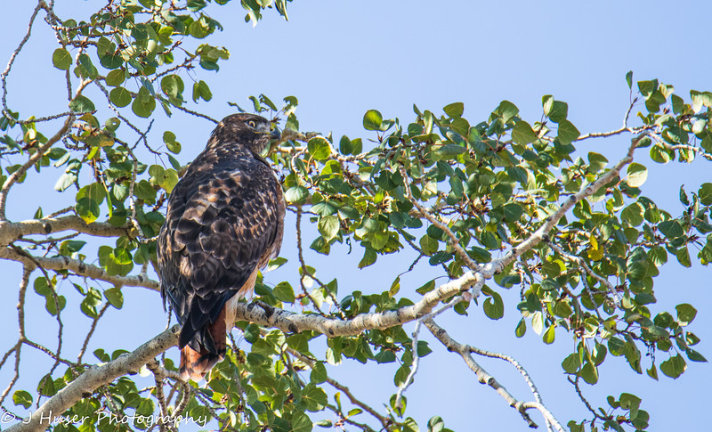 Red tailed Hawk looking right