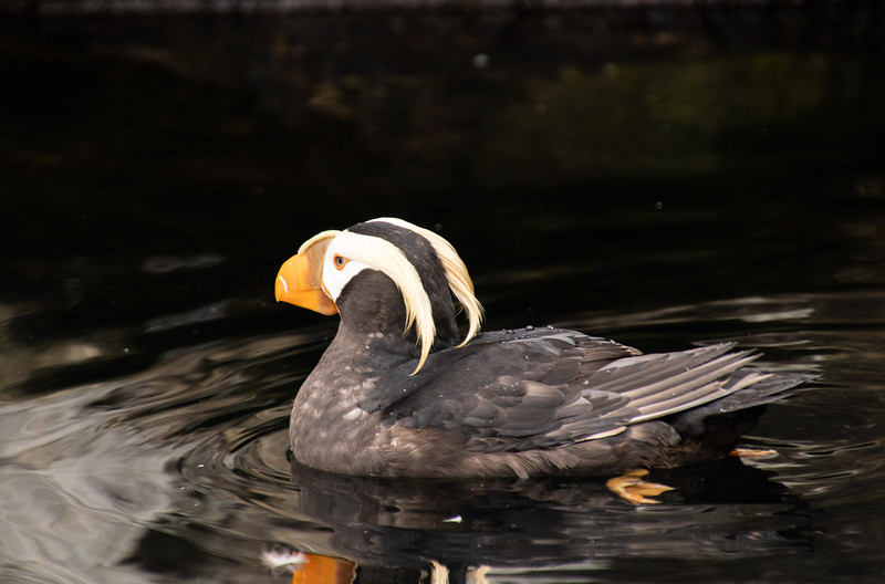 Closeup of one Tufted Puffin bird swimming