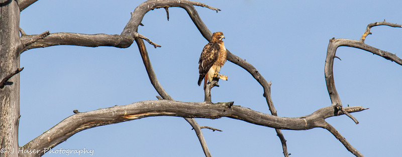 Red tailed Hawk sitting on a twisted tree