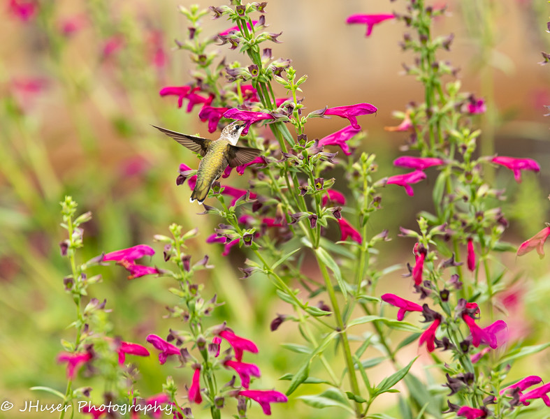Hummingbird feeding on a flower