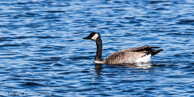 Closeup of a Canadian Goose swimming