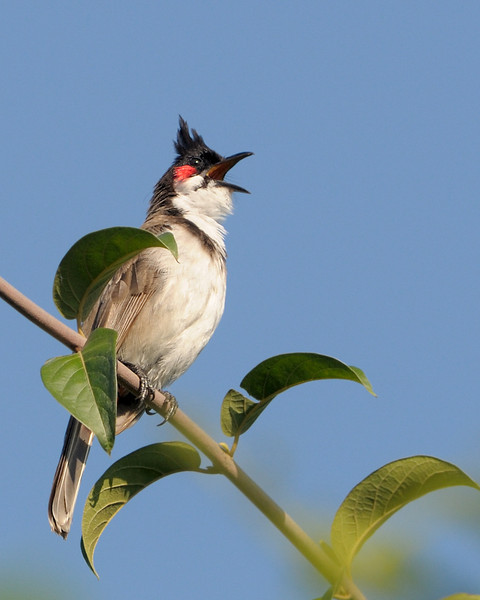 A happy Red-whiskered BulBul...happy to see the sun!