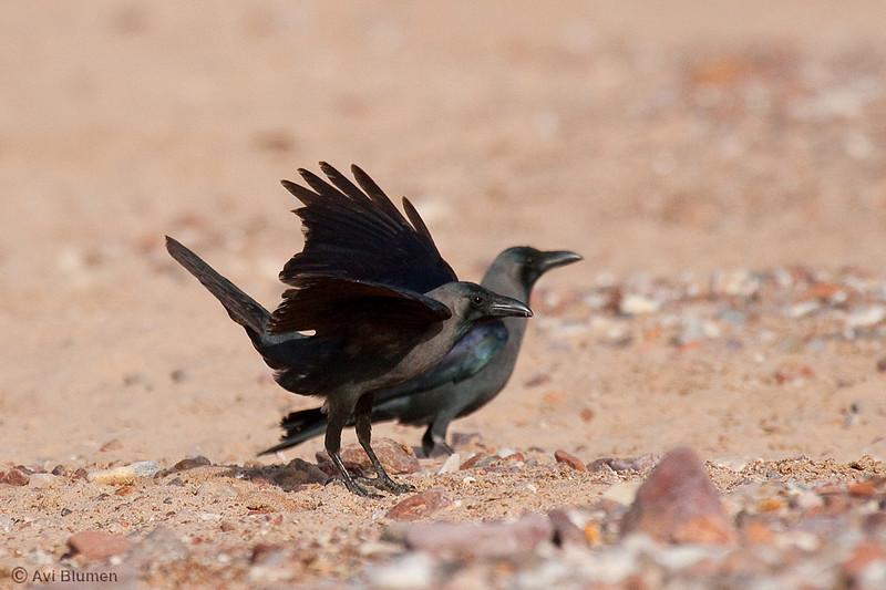 Indian house crow (Introduced species) at Eilat beach<br /> עורב הודי (מין פולש) בחוף אילת