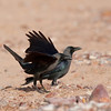 Indian house crow (Introduced species) at Eilat beach<br /> עורב הודי (מין פולש) בחוף אילת