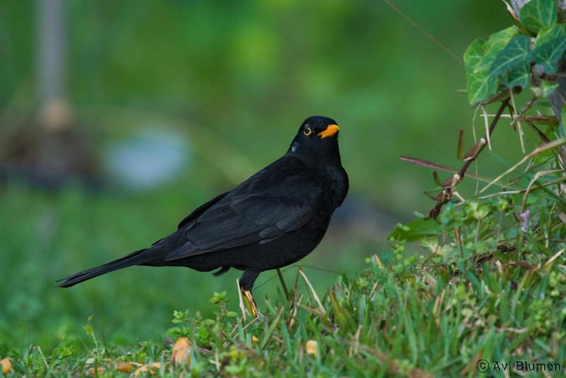 Blackbird male שחרור - זכר