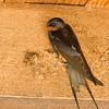 barn swallow - nest building<br /> סנוניות רפתות בתחילת בנית הקן