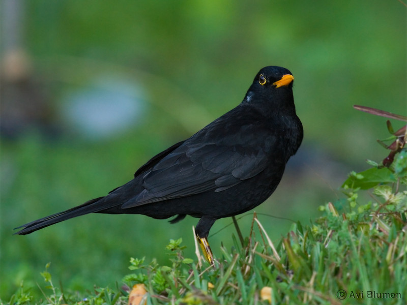 Blackbird male שחרור - זכר