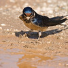 barn swallow collecting mud for nest building<br /> סנונית רפתות אוספת בוץ לבנית הקן