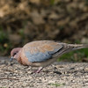 Laughing dove צוצלת