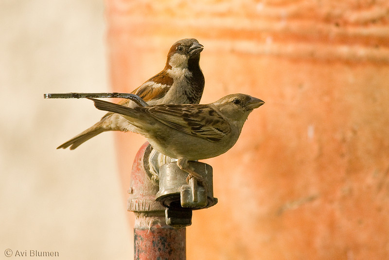 hose sparrow male &female<br /> דרור הבית זכר ונקבה