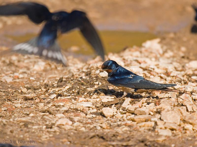 barn swallow collecting mud for nest building<br /> סנוניות רפתות אוספות בוץ לבנית הקן
