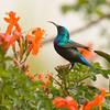 Sunbird male צופית - זכר