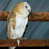 barn owl תנשמת לבנה