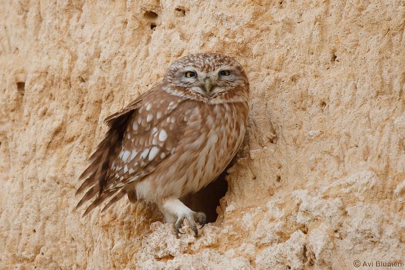 little owl כוס חורבות