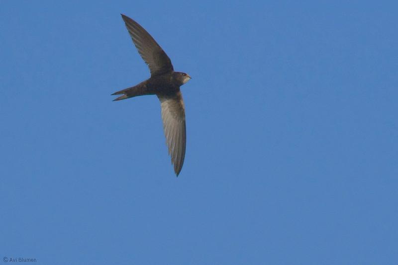 common swift סיס חומות