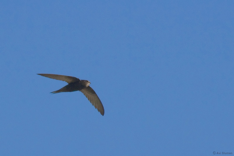 common swift סיס חומות