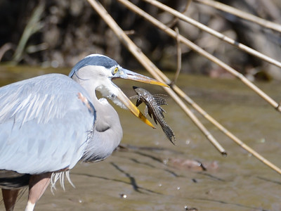 A Great Blue Heron eating an armored catfish in Costa Rica