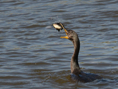 Double-crested Cormorants catching bullheads at McKenzie Slough ND