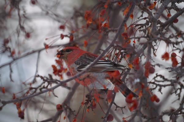 Birds in Alaska