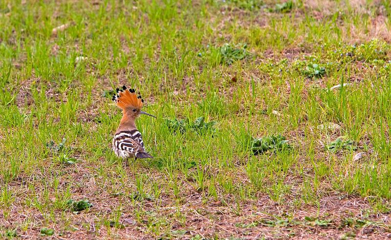 Härfågel<br /> Yangzhou, China<br /> <br /> .<br /> <br /> <br /> .