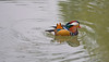 Mandarinand - Mandarin Duck - Aix galericulata<br /> Suzhou, China<br /> <br /> .