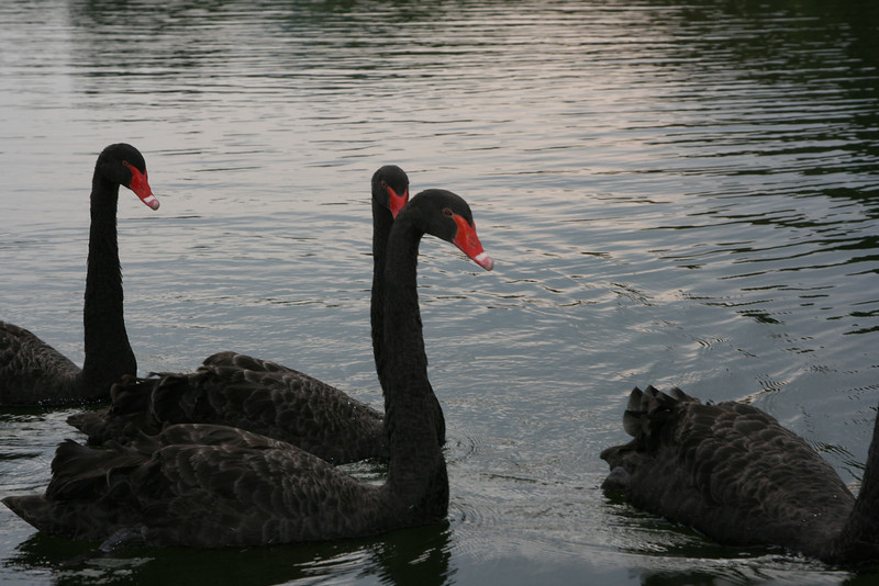 Black Swan imported from Australia