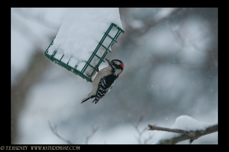 "Downy woodpecker getting some ""cold-protein"""